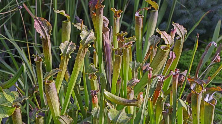 Fleischfressende Exemplare können auch als Zimmerpflanzen gehalten werden