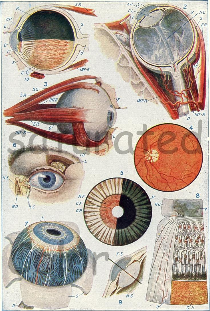 Eye Eyeball Anatomy -  Vintage Human Eye Anatomy - Vintage Medical Diagram - Antique Eye - 1935. $12.00, via Etsy.