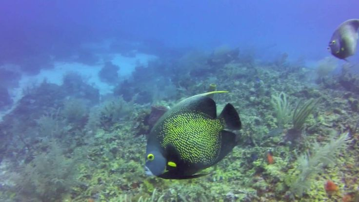 Belize Barrier Reef Scuba Diving with Hamanasi - tons of fish and wildlife seen. Video by Green Global Travel https://youtu.be/Jer4D6xY5LY