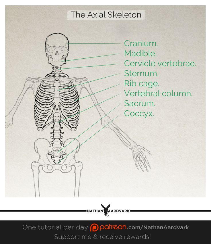 Human anatomy axial skeleton