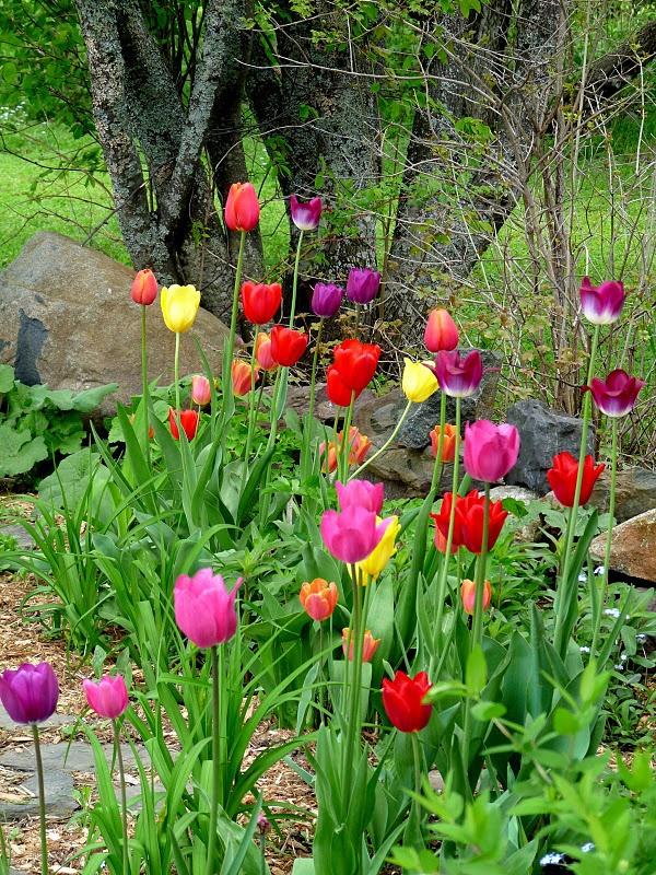 Tulip bed, so pretty