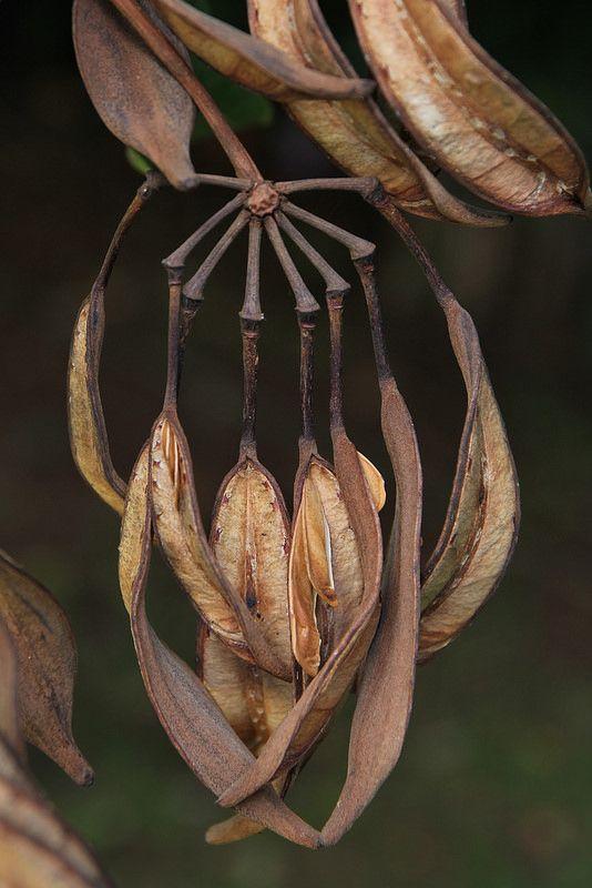 Stenocarpus sinuatus Proteaceae White Oak Wheel of Fire Tree 0514 21 Ravenshoe Lockyer | by John Elliott Townsville