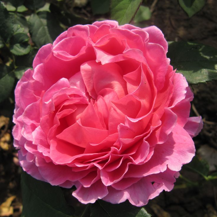 jackson perkins memorial day rose