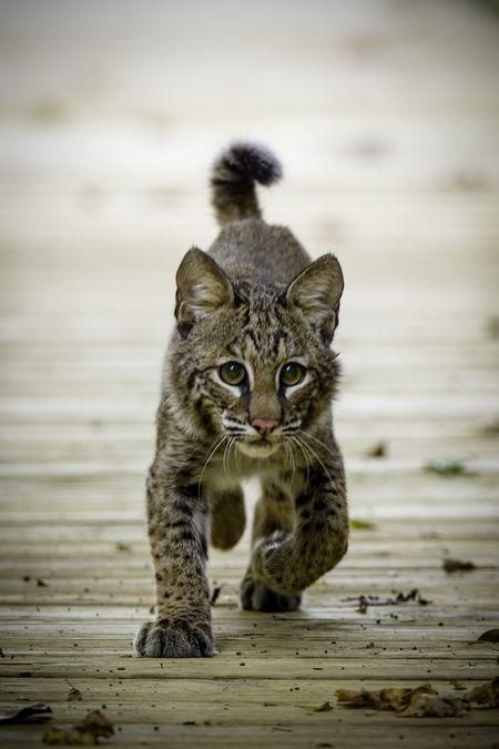 Learn all you wanted to know about bobcats with pictures, videos, photos, facts, and news from National Geographic.