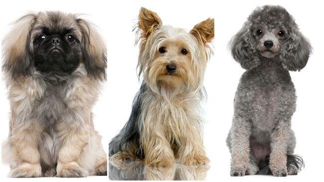 Razas De Perros Medianos Para Niños.  Razas de Perros Medianas para niños  Existe una inmensidad de caninos que son perfectos para tenerlos en casa, los más pequeños serán los que disfruten de esta agradable compañía de dichos animales. Existen en la actualidad muchas razas de perros mediano, cada uno de esto animales requieren de un cuidado especial y único, es decir si vas a llevar a unos de estos caninos para casa....  Razas De Perros Medianos Para Niños. Para ver el…