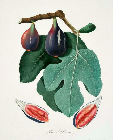 Georgio Gallesio | Fico S. Piero; Fig 1817-39