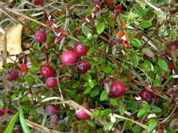 Nyhet! Vaccinum oxycoccos, tranbär. Rysk natursort med snygg purpurröd höstfärg.