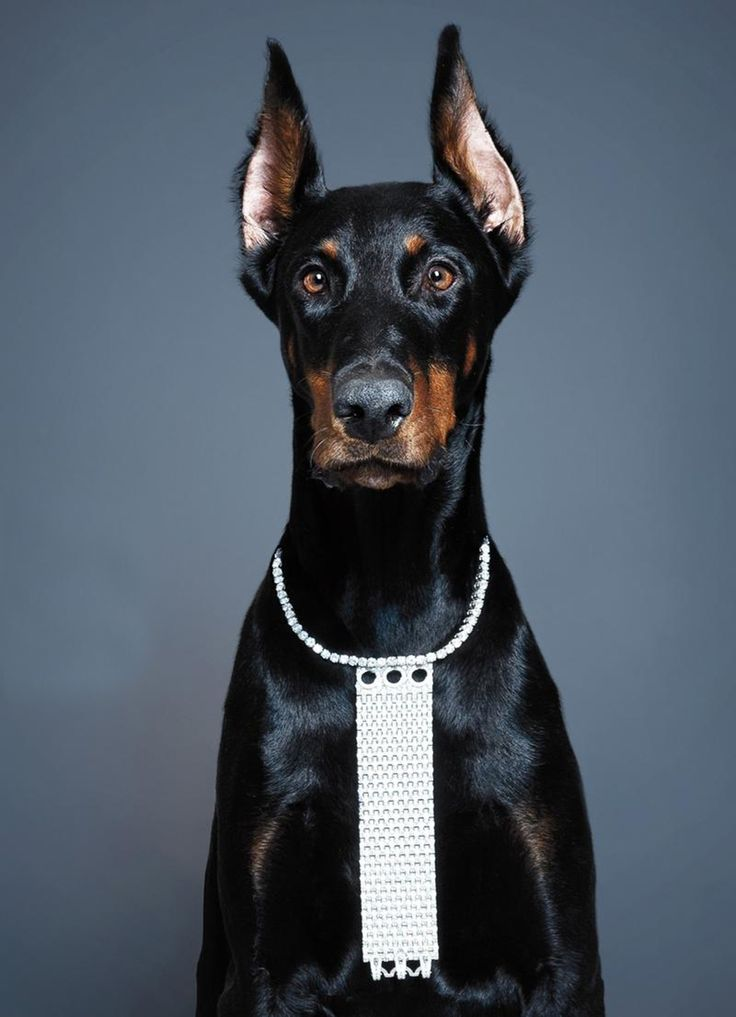 doberman single coat How easy is it to train a doberman pinscher doberman pinschers are very biddable dogs who want to please their people this breed's single coat is short.