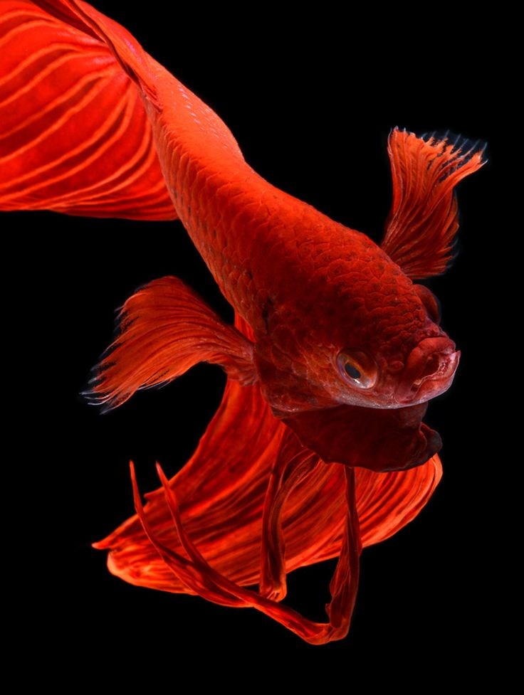 75 best visarute angkatavanich images on pinterest betta for Fish and wings
