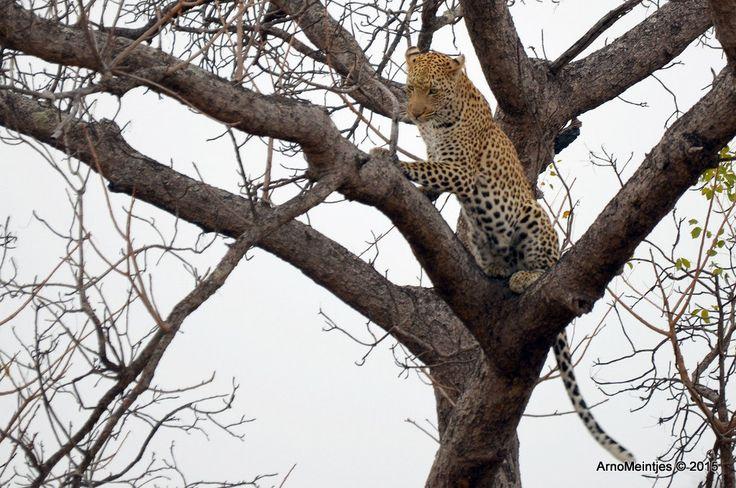 https://flic.kr/p/vGYKga | DSC_3279 | Leopard in tree