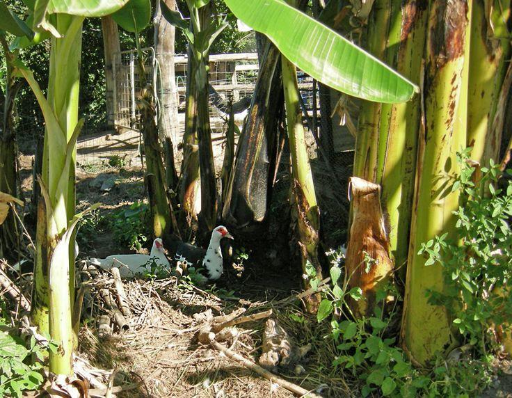 Permaculture Pilgrimage: Zaytuna Farm - Banana circle with ducks