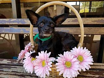 Toy Poodle/Chihuahua Mix Dog for adoption in Los Angeles, California - JR