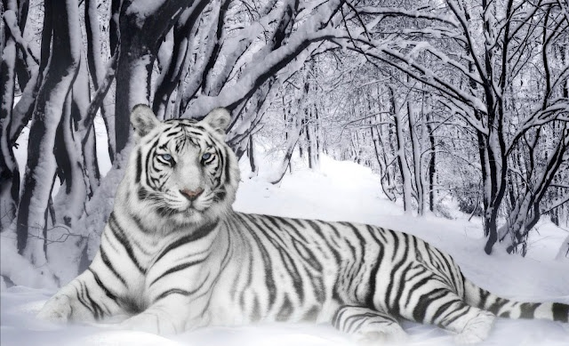 Nothing but beauty: Big Cat, White Tigers, Felino Adorable, Animal Kingdom, Beautiful White, Albino Tigers, Natural Gardens, Badass Animal, Albino Animal