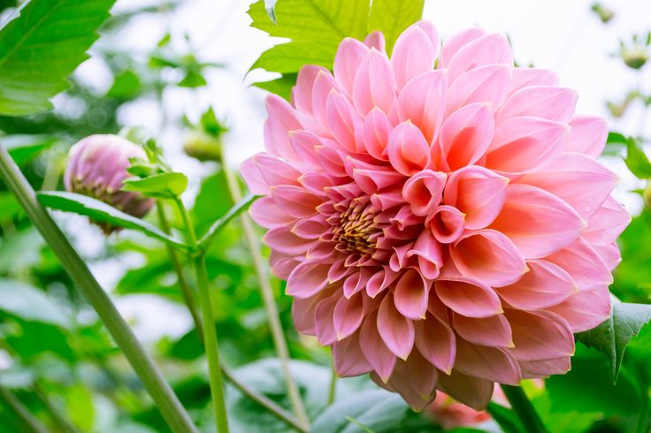 Pink Ball Dahlia by Tine Nordbred on 500px