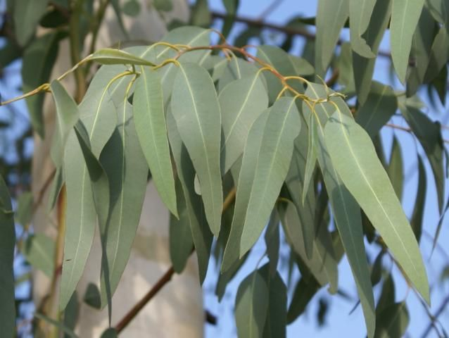Eucalyptus (eucalyptus globulus) - this amazing fresh-smelling oil helps clear mucus, open up the airways, support the lymphatics, clear grief, ease aches and pains and clear the head