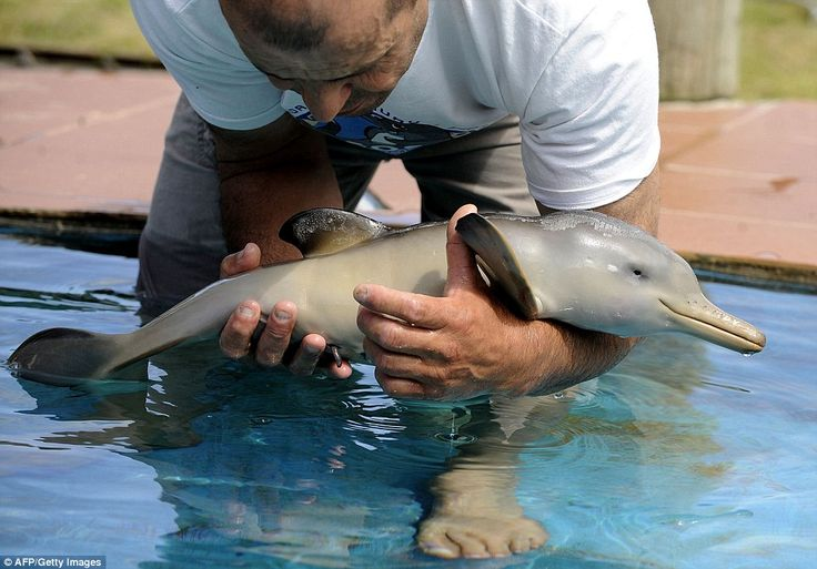 What a cutie! Richard Tesore, Director of the marine fauna reserve 'SOS Fauna Marina' holds a rescued baby dolphin in a pool in Punta Colarada