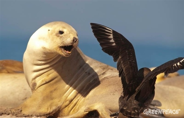 A NZ sea lion lunges at a skua   http://www.greenpeace.org/new-zealand/en/blog/climbing-a-vertical-swamp-with-rob-hamill-in/blog/43843/