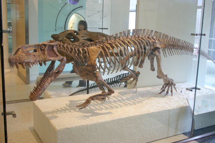 Prestosuchus; an archosaur. It is a very early relative of crocodiles from the Late Triassic, closely related to Postosuchus, which was featured in Walking with Dinosaurs.