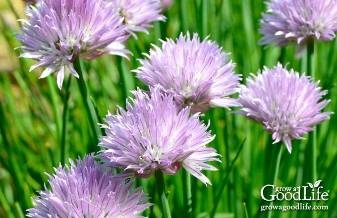 How To Grow Chives Including How To Plant Your Chive Seedlings How To Plant Chives In Pots How To Care For Chive Seedling Growing Chives Chives Plant Chives