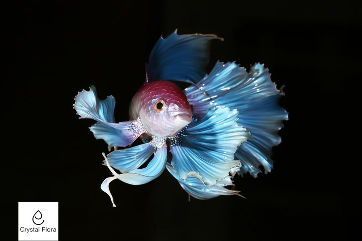 Fighting Fish (Fish cock) @crystalflora_official www.crystal-flora.com The fish is made from a photo of a mega talented photographer VISARUTE NGKATAVANICH @rute.angkata