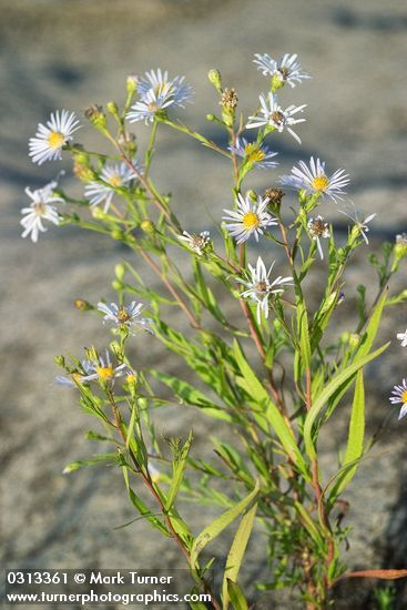 Aster subspicatus | Douglas's aster | Wildflowers of the Pacific Northwest