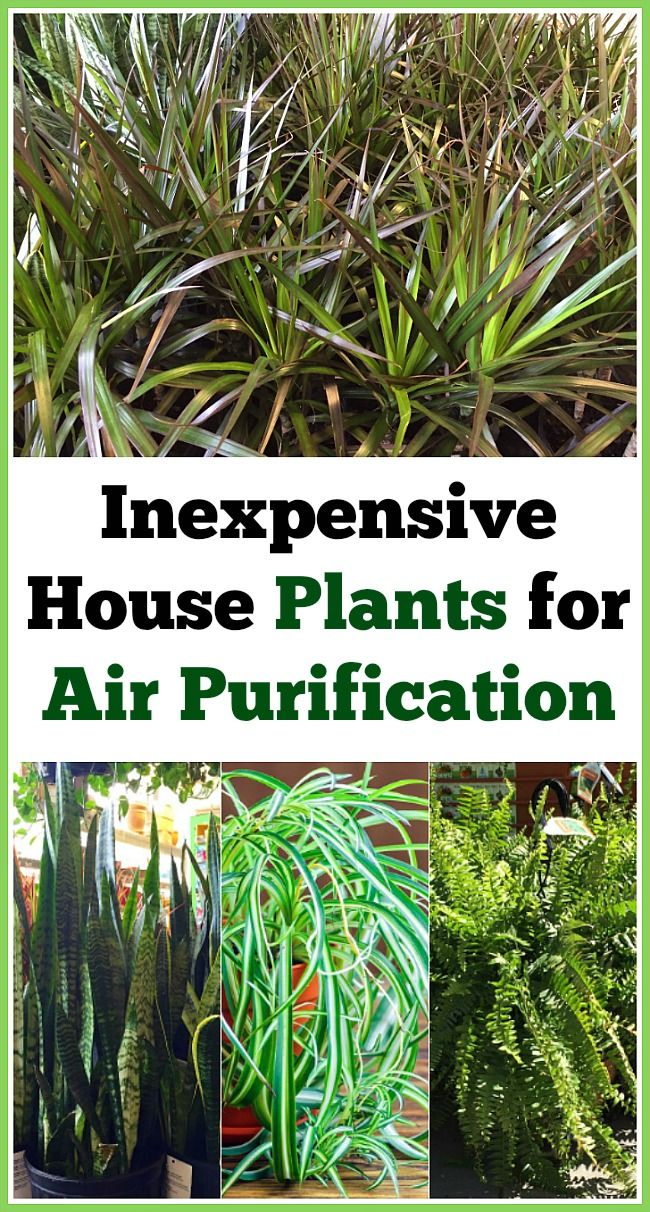 Plants that purify the air in your home - you definitely want to reduce the toxins in your home's air! A natural (and inexpensive) way to do this is with indoor plants! Here are 6 Great Houseplants for Air Purification! All of these plants are very easy to find at your big box store or plant centers (in the indoor plant section). | air purifying plants, frugal living, indoor gardening, healthy living tips, plants that clean your air, air-cleaning plants