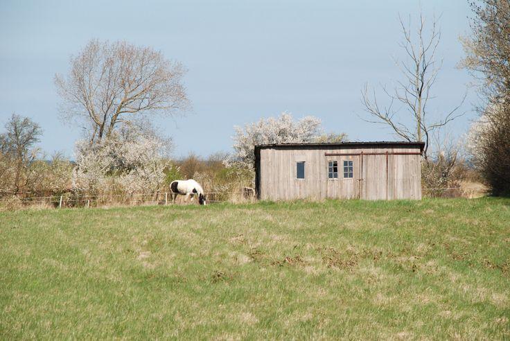 Hestefold med mirabeller og gammelt skur i marken.