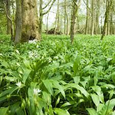 Wild garlic is now in season; keep a look out for it, it's delicious in soups.