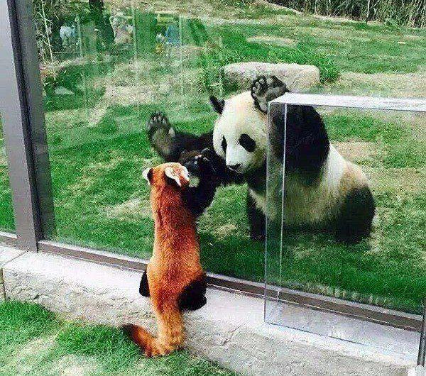 Panda and red panda bonding. ❤️