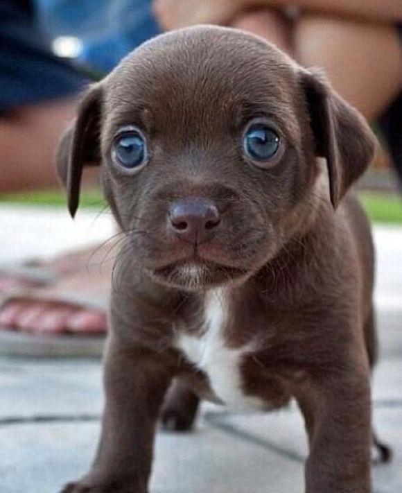 Blue-eyed Chocolate Puppy