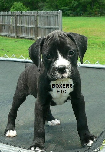 how to train boxer puppy not to jump