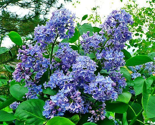 High Quality High Altitude Gardening: Mountain Lilacs