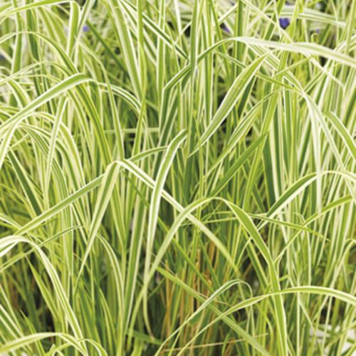 The 25 best feather reed grass ideas on pinterest tall for Ornamental grass ideas
