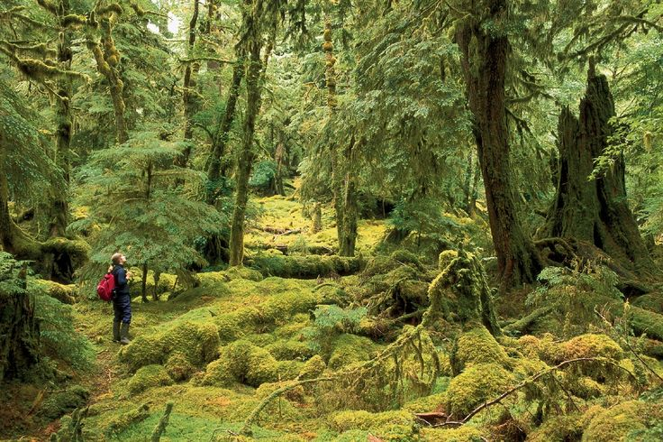 Hiker in a moss covered forest in Gwaii Haanas National Park Reserve in Haida Gwai