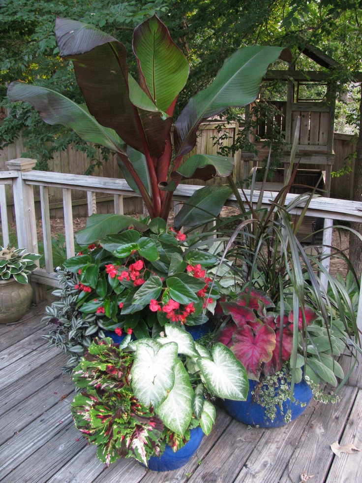 Outdoor Plants Nursery Located Between Santa Monica And: Banana Plant, Dragon-wing Begonia, Kong Coleus, Caladium