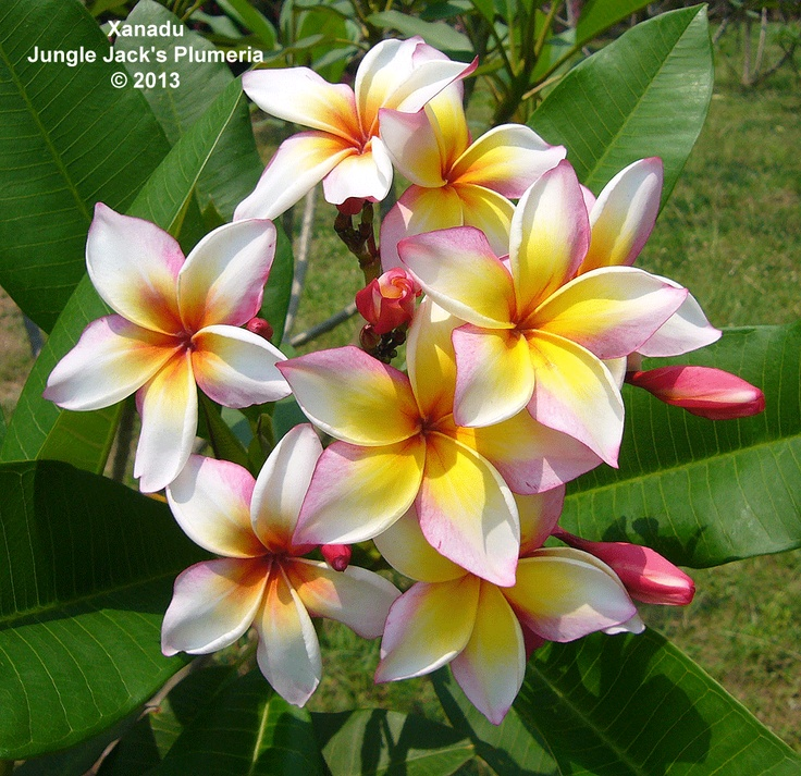 Xanadu: Another of our prolific blooming plumerias, creating a ...