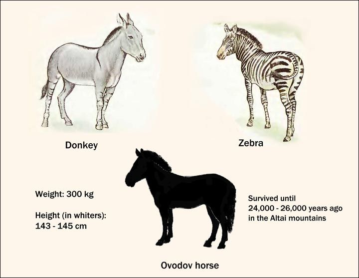 difference between zebra and horse difference between - 720×557