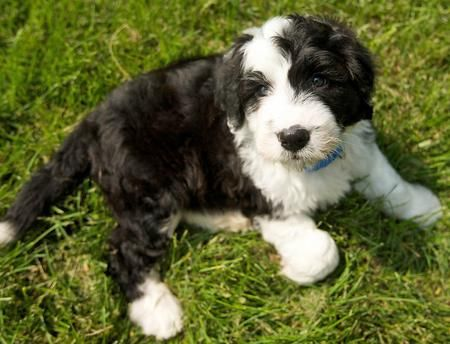 Rocco the Sheepdog Mix puppy - sweet!