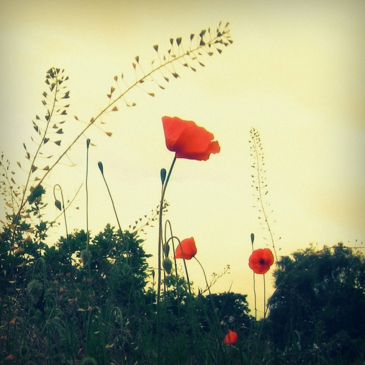 I love Poppies :)