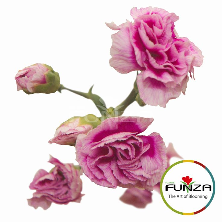 Bicolor Purple Spray Carnation from Flores Funza. Variety: Super Trendy Tessino. Availability: Year-round.