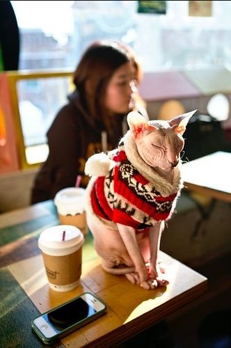Naked cat in a sweater + tea = enough reason to go to Seoul  http://www.nytimes.com/slideshow/2012/12/30/travel/20121230-PURSUITS-3.html