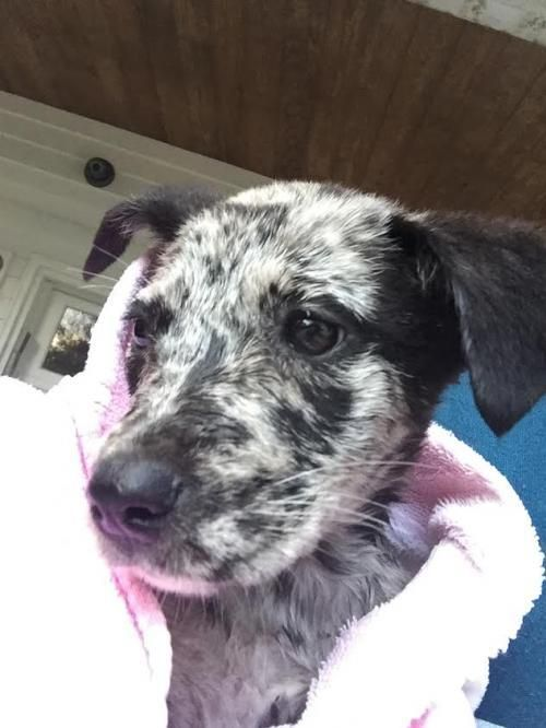 Lilian is an adoptable Australian Shepherd searching for a forever family near Houston, TX. Use Petfinder to find adoptable pets in your area.