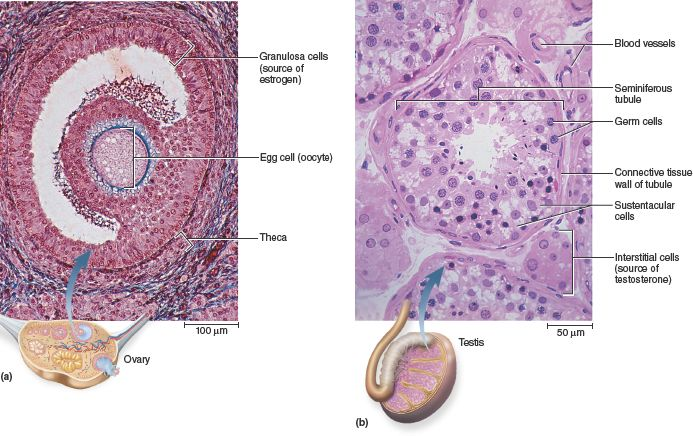 This image shows the histology of the gonads: the ovary and testes. In the ovary, the granulosa cells produce estradiol while the corpus luteum produces estradiol and progesterone. Both secrete inhibin which suppresses FSH (follicle stimulating hormone) secretion. In the testes, the sustentacular (Sertoli) cells are the ones that secrete inhibin. The interstitial cells of the testes produce testosterone.
