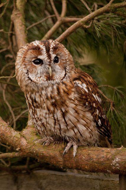Lehtopöllö-> linnut. Asuu lehti- ja sekametsissä sekä puistoissa. Saalistaa hämärässä. Pesä puunkolossa tai pöntössä.