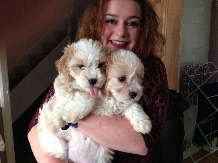best quality cavachon puppies, cavachon for sale, designer dogs at best price, hybrid cavachons buy online, best litters buy online, litters online buy, visit at 4everpuppies.com