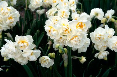daffodil 'Bridal Crown', FLORET recommend 2015
