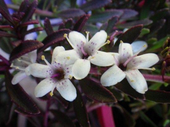 Myoporum purpurea - Landsdale Plants