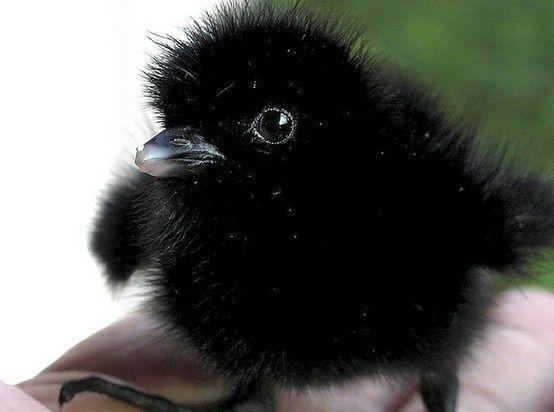 Baby Mallard Ducks 6 Weeks | Uploaded to Pinterest