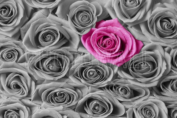 Roses - Pink and Grey - Fototapeter & Tapeter - Photowall