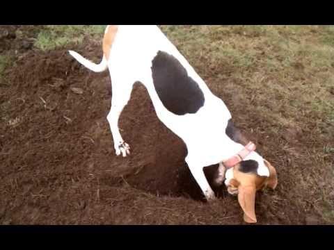 Treeing Walker Coonhound Breed Info - Pets Adviser